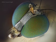 Long-Legged Fly (Dolichopodidae) by laurie.knight