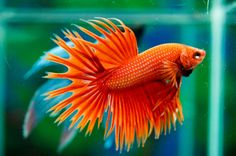 orange betta male fish