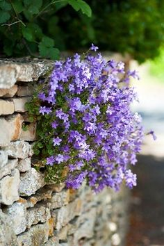 Purple Campanula [Bell Flower] For Cottage Garden – Start A Easy Backyard Project - HoliCoffee Beautiful Gardens, Beautiful Flowers, Beautiful Wall, Bouquet Champetre, Purple Garden, Flower Wall, Wall Flowers, Dream Garden, Nature