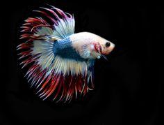 AquaBid.com - Pride of Siam #2