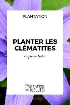 Les clématites sont des plantes grimpantes qui offrent une généreuse floraison colorée. Découvrez nos conseils pour réussir leur plantation !