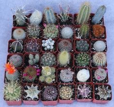 """2"""" Assorted Cactus bulk wholesale wedding Favor gifts at the succulent source - 1"""