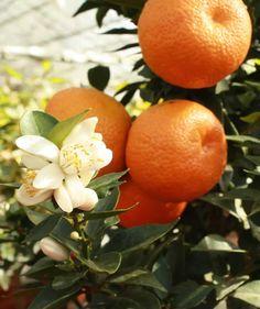 Citrus myrtofolia Chinotto
