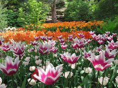 Tulips at Rock Garden Royal Botanical Gardens Hamilton Ontario Spring 2013 | Flickr - Photo Sharing!