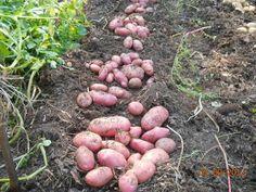 Я много раньше читал, слышал и видел (благодаря Интернету) об использовании соломы в качестве мульчи на посадках картофеля: без окучивания, с окучиванием во время вегетации, с посадкой в лунки, бороз… Small Farm, Farm Gardens, Outdoor Plants, Agriculture, Vegetable Garden, Sweet Potato, Blueberry, Diy And Crafts, Beans
