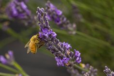 Save the bees! One of the many honey bees in the lavender field In sunny Carterton, Wairarapa, New Zealand