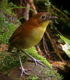 Yellow-breasted Antpitta - Colombia and Ecuador