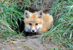 Red Fox Cub by Richard Schaaf