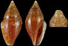 Mitromorpha olivoidea (ex Mitrolumna) comune e piccolissima nel detrito di Elaphonissos