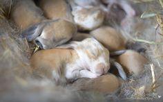 Ashley Lane Photography  #babybunnies #bunny #rabbit #Englishlop #kits #cute #baby #babies