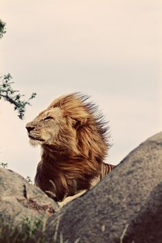 Windy lion