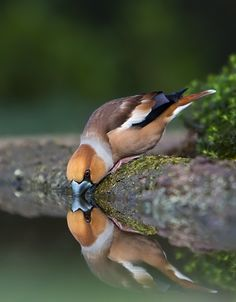 Exotic Birds, Colorful Birds, Beautiful Birds, Animals Beautiful, Hawfinch, Owl Pet, Interesting Animals, Little Birds, Kingfisher