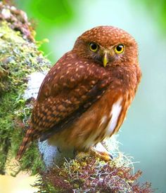 Cloud Forest Pygmy Owl