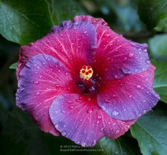 Night Fire Hibiscus - Paperblog