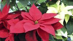 Vánoční hvězda není rostlinou na jedno použití, při správné péči vám za rok zase pokvete. Amaryllis, Flowers, Plants, Gardening, Red Christmas, Free Images, Poinsettia, Indoor House Plants, Cactus