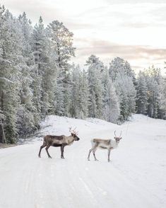 Magical and winter wonder with reindeer crossing the road in woods Winter Fun, Winter White, Winter Season, Winter Colors, Jonna Jinton, Christmas Aesthetic Wallpaper, Cozy Christmas, Scandinavian Christmas, Scandinavian Design
