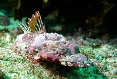 Eye detail - Tasselsnout flathead - Thysanophrys cirronasa #marineexplorer