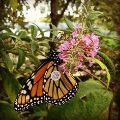 Tagging Monarch butterflie in the Butterfly Habitat Garden | by Flickr member AsiVivo  Learn more about Monarch tagging here: http://monarchwatch.org/tagmig/tag.htm