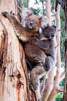 Koalas - Kangaroo Island, South Australia