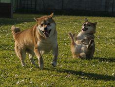 Aki e Lizzy mentre fanno agility