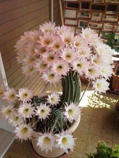 Cactus' flower can service shorter than a day. - Cactus' flower can service shorter than a day. Succulent Gardening, Cacti And Succulents, Planting Succulents, Planting Flowers, Mini Cactus Garden, Easter Cactus, Exotic Flowers, Amazing Flowers, Beautiful Flowers