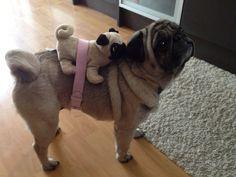 Pug and Mini Pug