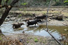water buffalo - in the mountains of Chin State - Myanmar