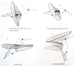 """section9: """" beatbrox: """" I found a diagram describing almost exactly what I was talking about in the last post. Aren't Humming birds awesome. """" Freaking awesome. """""""
