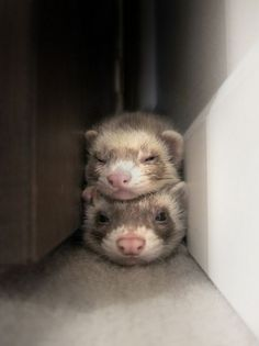 Ferret Totem Pole | Cutest Paw