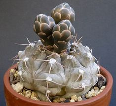 Gymnocalycium prochazkianum (G. mostii ssp. valnicekianum)
