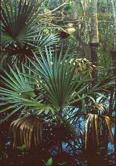 swamp- palmettos