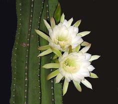 Night Blooming Cactus Cereus  photo by Cayobo