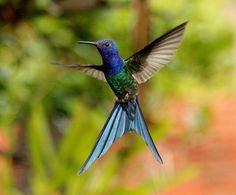 Foto beija-flor-tesoura (Eupetomena macroura) por Fernando Zurdo | Wiki Aves - A Enciclopédia das Aves do Brasil