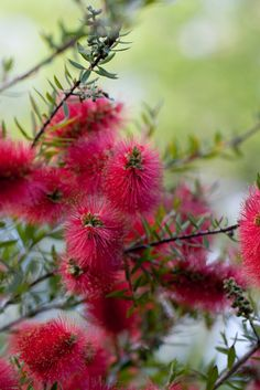 Flower, Bottlebrush
