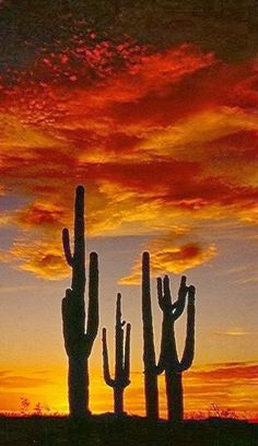 Sunset North Mountain,Arizona - Saguaro cacti grow naturally in parts of Arizona and Old Mexico.