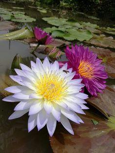 Beautiful Rose Flowers, Exotic Flowers, Amazing Flowers, Water Flowers, Flowers Nature, Water Lilies, Lotus Flower Pictures, Lotus Flower Art, Flower Garland Wedding