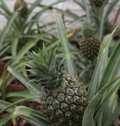 62dfc640d004a0f8157048554899ab67  earthship most expensive - Pineapples From The Lost Gardens Of Heligan