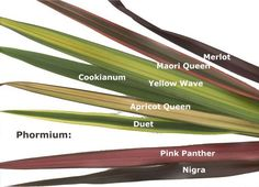 Rainbow Color New Zealand Flax     Common Name: New Zealand Flax   Scientific Name: Phormium Tenax   Height: up to 3 m   Span: Leave...