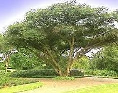 acacia sieberiana - Google Search Acacia, Trees To Plant, Country Roads, Google Search, Plants, Tree Planting, Plant, Planets