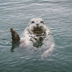 """campbrandgoods: There's a new Good Times Photo Series up on the Good Company Journal by Melanie McKay. She's going to be taking over our account for the next few days! """"All the best creatures // Victoria, British Columbia"""" - this seal though Ocean Creatures, Magical Creatures, Funny Animals, Cute Animals, Cute Seals, British Wildlife, Photo Series, Large Animals, Ocean Life"""