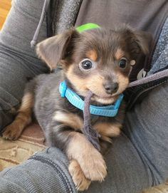 15 pictures of puppies really too cute - Valerie Torre - Cute animals - Chien Cute Baby Dogs, Cute Dogs And Puppies, I Love Dogs, Doggies, Fluffy Puppies, Adorable Puppies, Cute Little Animals, Cute Funny Animals, Funniest Animals