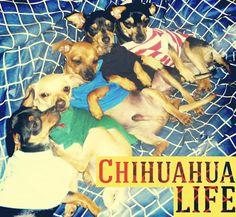 Chihuahua life :)