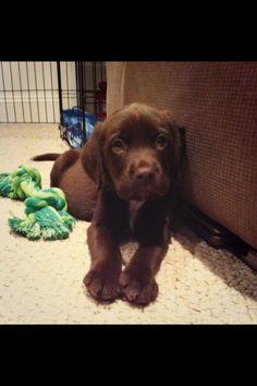 Milo my Springador / Labradinger puppy!