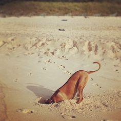 """Gefällt 56 Mal, 4 Kommentare - Bizu (@ridgebackgram) auf Instagram: """"#magritte #hamptons #summer #projectRR #lionhound #ridgebacks #rhodesianridgeback #dogsofinstagram…"""""""