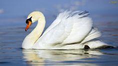 cisne-branco-wallpaper