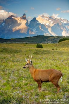 The scarce Huemul - Torres del Paine National Park, Patagonia, Chile Patagonia, Torres Del Paine National Park, South American Countries, Mundo Animal, Amazing Nature, Nature Photos, Pet Birds, Mammals, Scenery
