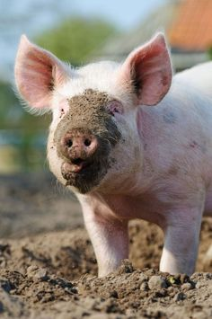 http://www.livescience.com/13953-pigs-evolved-mud-wallowing.html