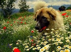 Image result for pug in field of flowers
