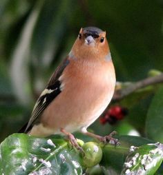 Chaffinch - common in Europe. The British have introduced it in other countries as well in Asia, Africa and some islands, however it is indigenous to Europe. All Birds, Little Birds, Love Birds, Pretty Birds, Beautiful Birds, Chaffinch, Gardening Photography, Mundo Animal, Colorful Birds