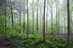Hallerbos, in Belgium, also known as the Blue Forest or Halle Forest in Dutch.  The wooded area covers 1360 acres of the European country, mainly in the municipality of Halle in Flemish Brabant, but a small portion of the forest is also found in Walloon Brabant.